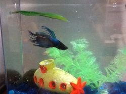 Mr. Bubbles the Blue Boy Betta